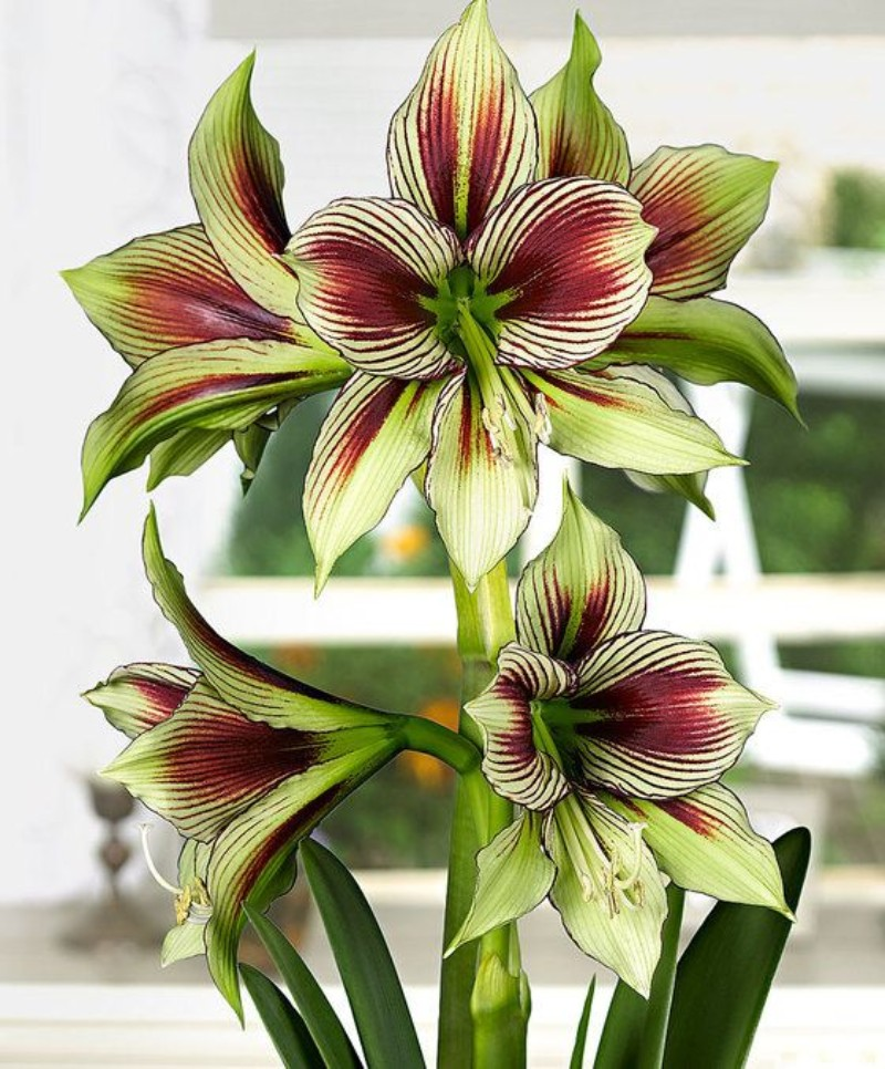 flower choices The Best Flower Choices to Decorate your Home in Winter Time amaryllis