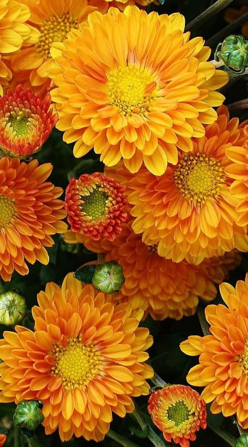 winter flowers, flower, winter, home décor ideas, decoration ideas, colorful room, flower choices flower choices The Best Flower Choices to Decorate your Home in Winter Time chrysanthemum