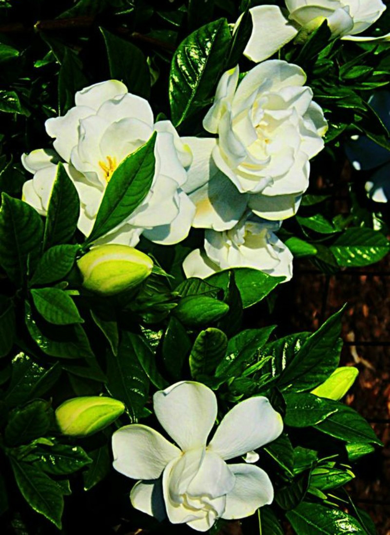 flower choices The Best Flower Choices to Decorate your Home in Winter Time gardenia 1